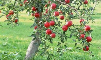 Яблуня восени