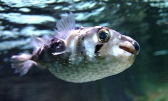 Отруйна риба-їжак