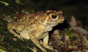 Отруйні жаби вторглися на мадагаскар