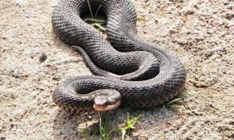 Отруйні змії росії
