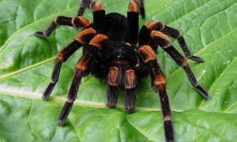 Отруйний тарантул. Фото павуків