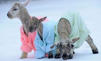 Ягнят сніжинку, морозка та сніжку одягли в яскраві светри