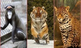 Ягуар, мавпа і тигр з новосибірського зоопарку покинули будинок в пошуках другої половинки