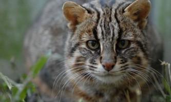 Японцеві вдалося одомашнити дикого лісового кота