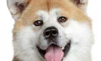 Японська акіта іну: характер і рекомендації за змістом.