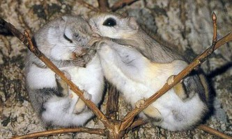 Японська летяга, або мала летяга (лат. Pteromys momonga)