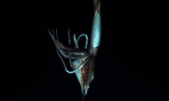 Японські дослідники вперше зняли на відео кальмара-монстра