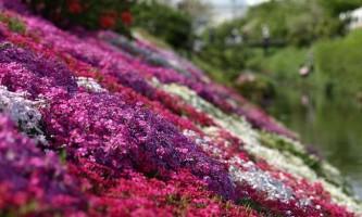 Японські поля з квітучої шиба-закурити (shibazakura)