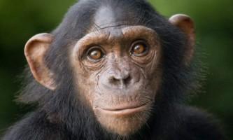 Японські вчені: шимпанзе можуть запам`ятовувати обличчя не гірше людей