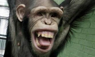 Японські вчені: шимпанзе надовго запам`ятовують моторошні сцени з фільмів