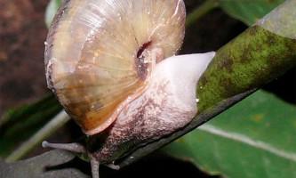 Японські равлики рятуються від змій подібно ящірок