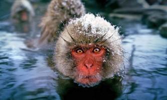 Японський макак. Опис, фото мавпи