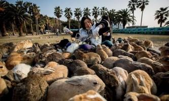 Японський острів окуносіма - рай для кроликів