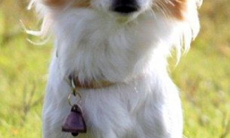 Поліцейська собака з японії - чихуахуа на прізвисько момо