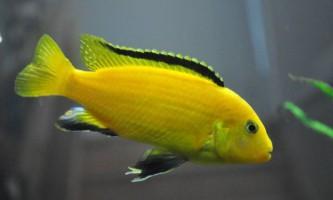 Яскраво жовта ціхліда - лабидохромис