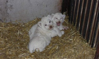 Ярославський зоопарк продемонстрував публіці білих левенят