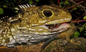 Ящірка гаттерия зуміла сильно здивувати вчених