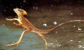 Ящірка-ісус виявлена в штаті вайомінг