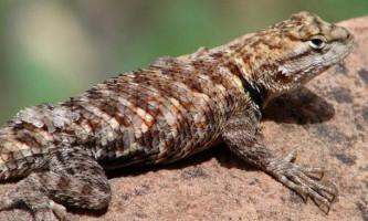 Ящірка поясохвостов: фото, відео
