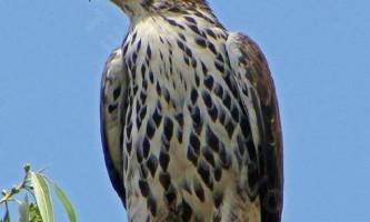 Яструбине африканський орел: опис і спосіб життя гордої птиці