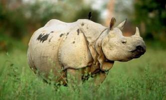 Яванський носоріг - тварина на межі зникнення