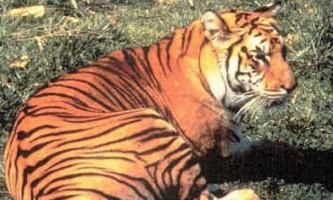 Яванський тигр - знищений або вижив підвид?