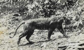 Яванський тигр