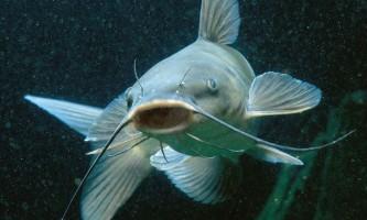 Явище біоакустики у риб: спостереження, факти, теорії
