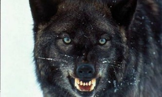 Сірі мешканці лісів - вовки