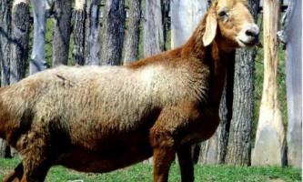 Едільбаєвськая порода овець