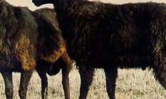 Едільбаєвськая вівці