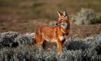 Ефіопський вовк: що у нього спільного з шакалом?