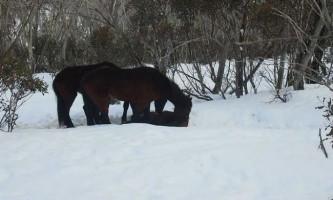 Екологи зафіксували шокуючу трапезу коней-канібалів