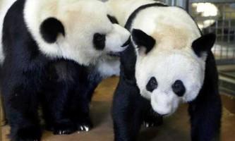 Екскременти панд здатні переробити бамбук в біопаливо