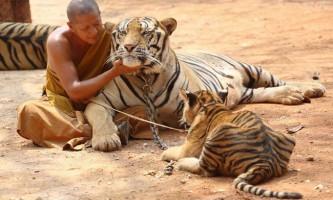 Екскурсія в храм тигрів в таїланді