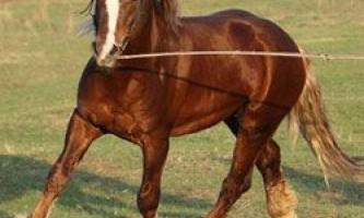 Екстер`єр коней породи російський ваговоз, стан породи сьогодні