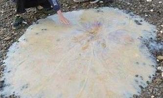 У тасманії знайшли невідому науці гігантську медузу