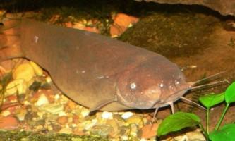 Електричний сом - риба з зарядом