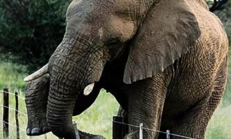 Електричний паркан слону не перешкода