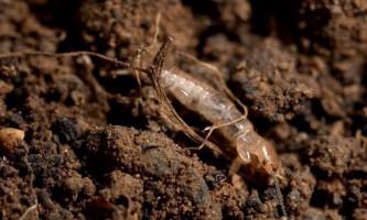 Ембія - реліктове комаха