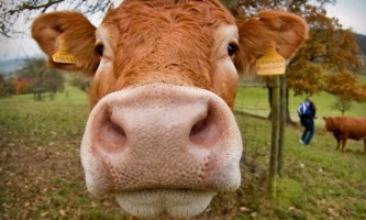 Ендометрит у корів: причини, симптоми, лікування