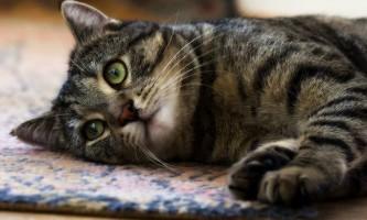 Ентерит у кішок і кошенят: симптоми і лікування
