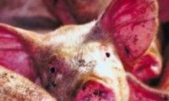 Ензоотична пневмонія свиней