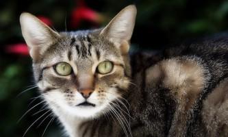 Еозинофільна гранульома у кішок