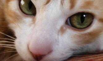 Епілепсія у кішок: симптоми, лікування