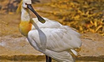 Ця незвичайна птиця колпиця