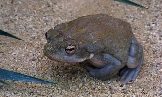 Еволюція по-жаб`ячі: розмножується найшвидший