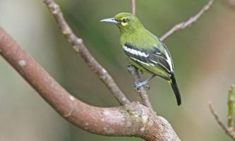 Йора - що ми знаємо про цей рід птахів?