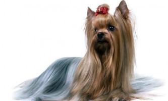 Йоркширський тер`єр - мініатюрна собака
