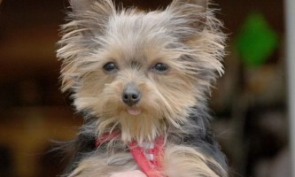 Йоркширський тер`єр на прізвисько люси - найменша службова собака в світі